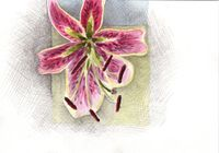 Lily postcardsm