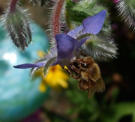 Bee to borage